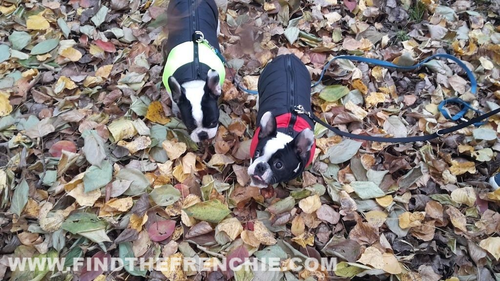 Cappottini Bulldog Francese - Dante e Mia Find the Frenchie