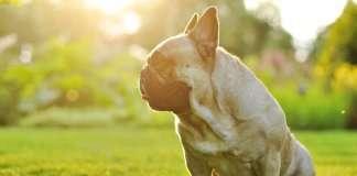 Bulldog Francese colpo di sole