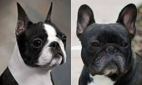 Boston terrier o bulldog francese? Un confronto tra due razze canine all'apparenza simili.