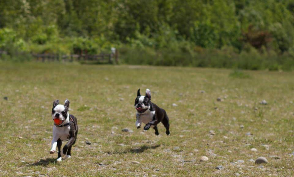 Coppia di Boston Terrier in allenamento.