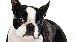 Boston Terrier detto anche American Gentlemen