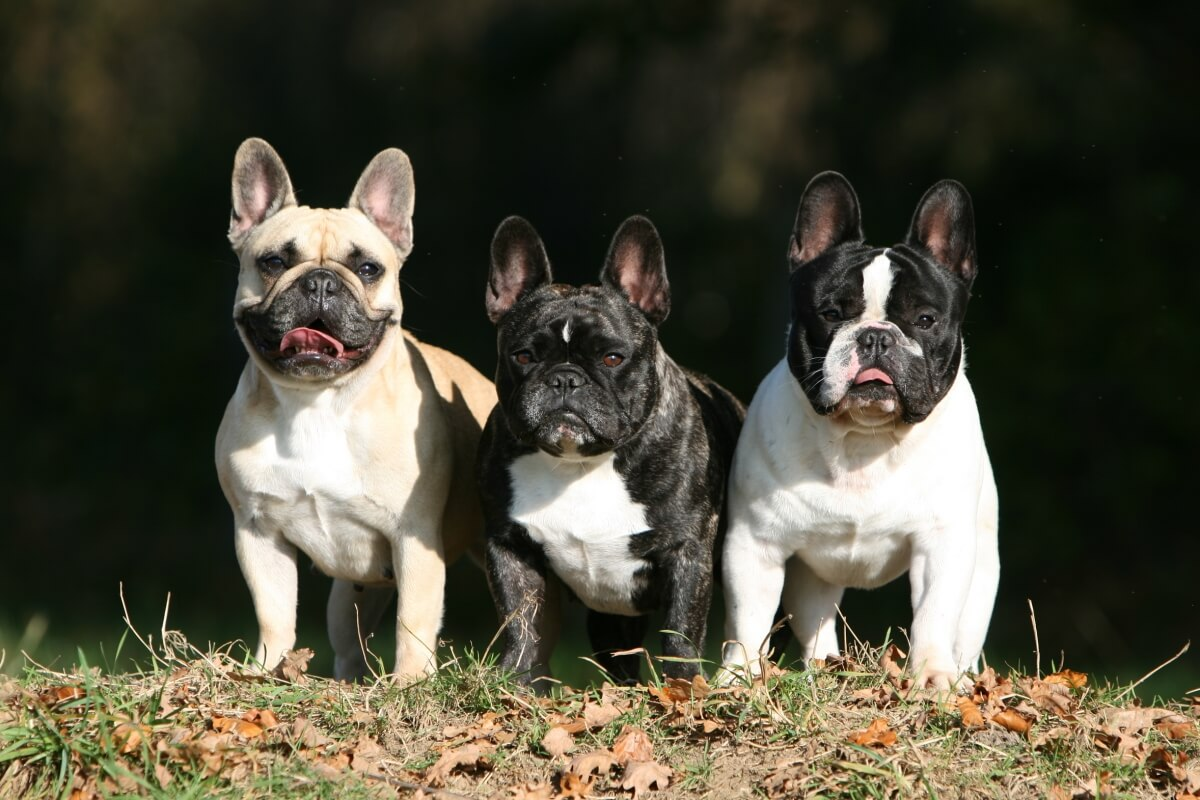 Tre Bulldog Francese