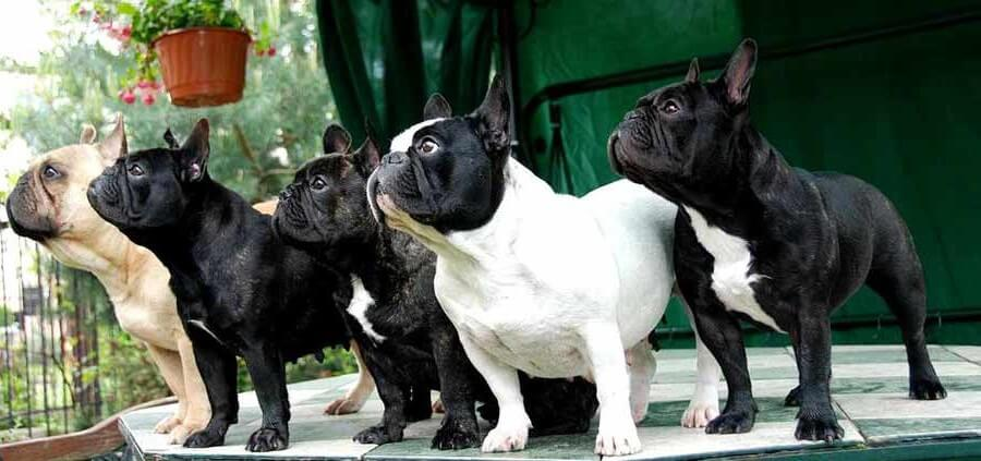 Boston Terrier o Bulldog Francese? Un confronto di razza di cani.