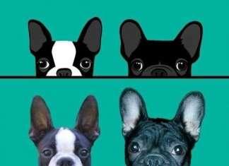 Guida alla scelta della razza canina boston terrier o bulldog francese.