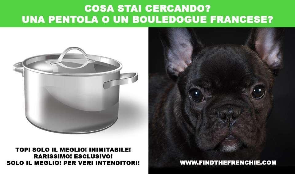 Scegliere un cucciolo di bouledogue francese, consigli utili.