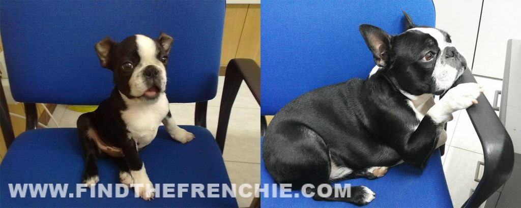 Aaron il bellissimo Boston Terrier di Rino Bruno. A quanto pare adora questa sedia...