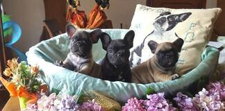 Cuccioli di bouledogue francese La Maison Folle