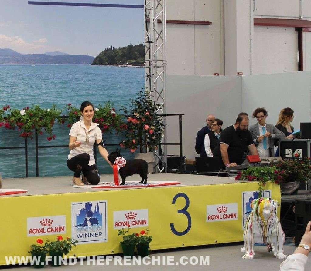 Il bouledogue francese Cisco è giovane promessa ENCI, complimenti!