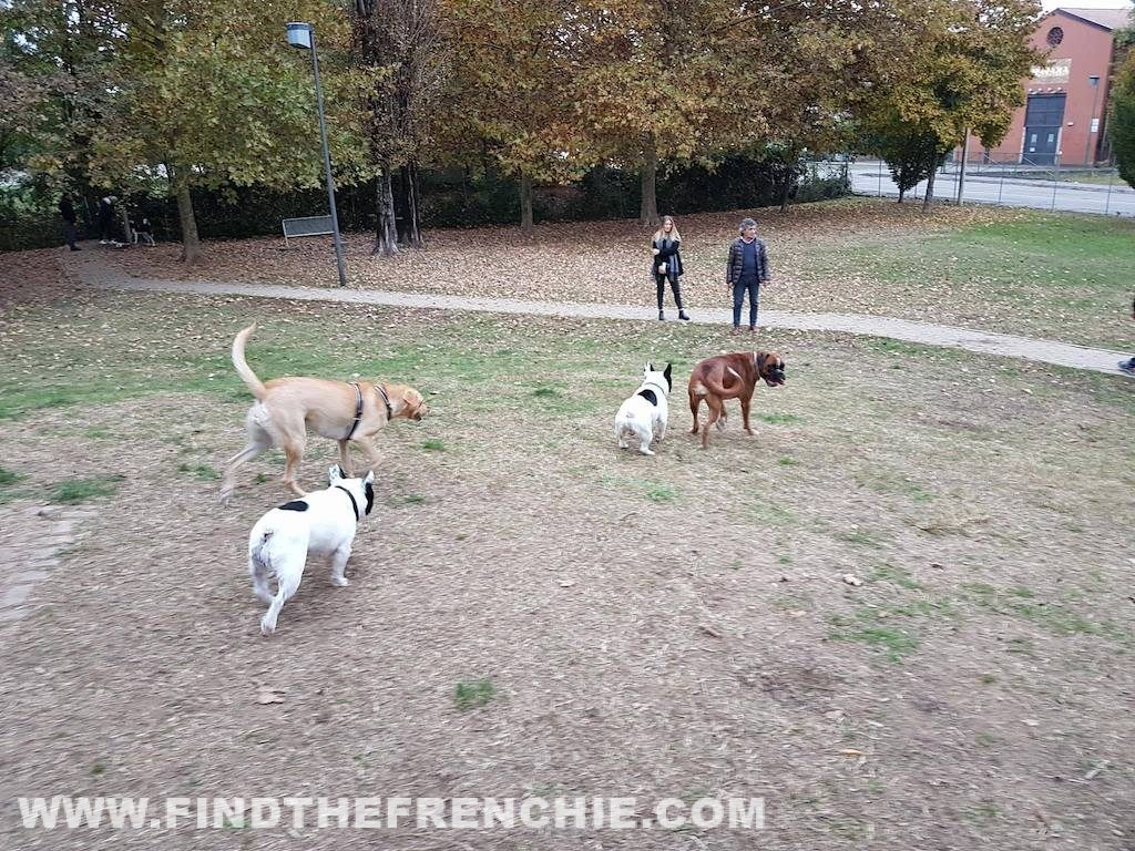 Area Cani con il Bulldog Francese. Come comportarsi?Dante-Golden
