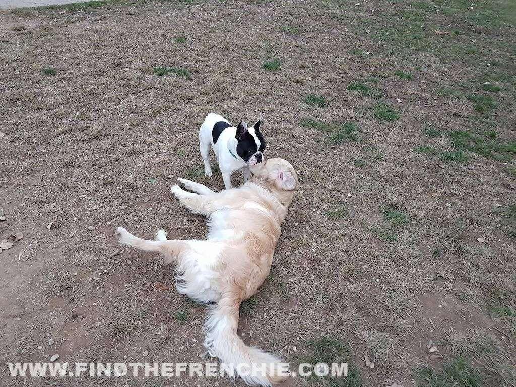 Area Cani con il Bulldog Francese. Come comportarsi?