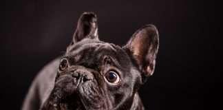 Black Friday French Bulldog. Le migliori offerte scelte per te