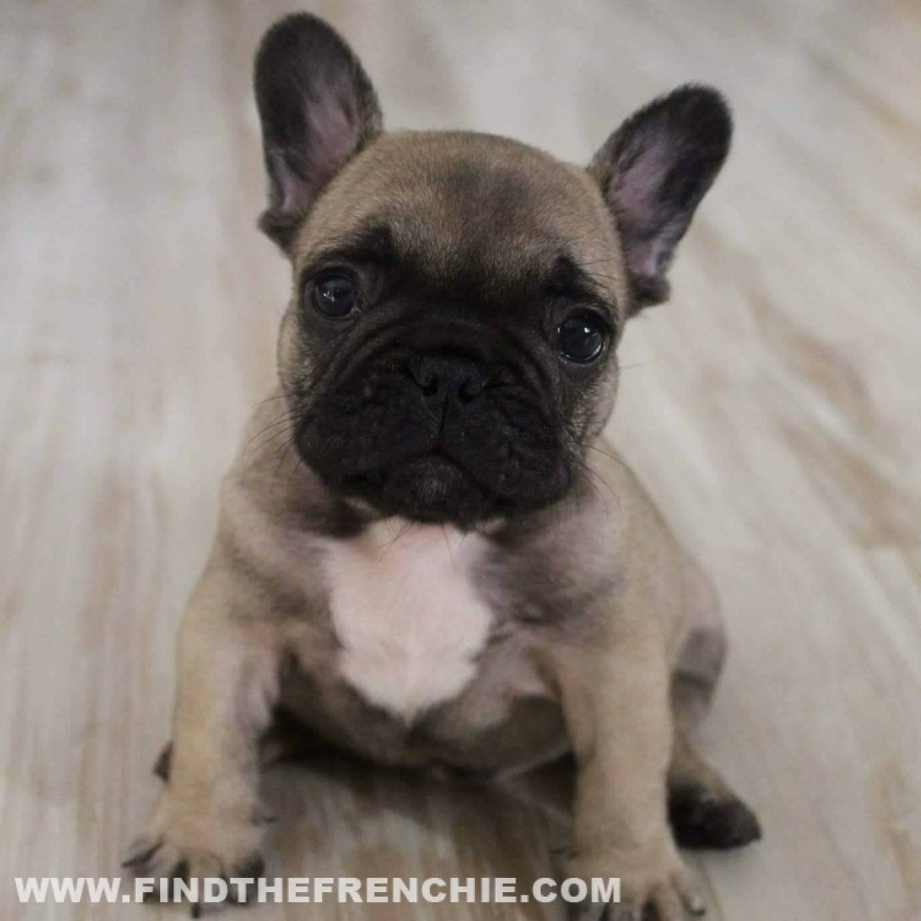 Hiro - Bouledogue Francese maschio di 4 mesi e mezzo