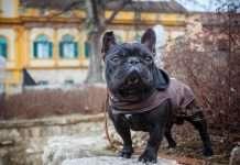 Cappottino bulldog francese per evitare lo sbalzo termico