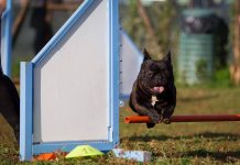 Agility Dog con Bulldog Francese_salto