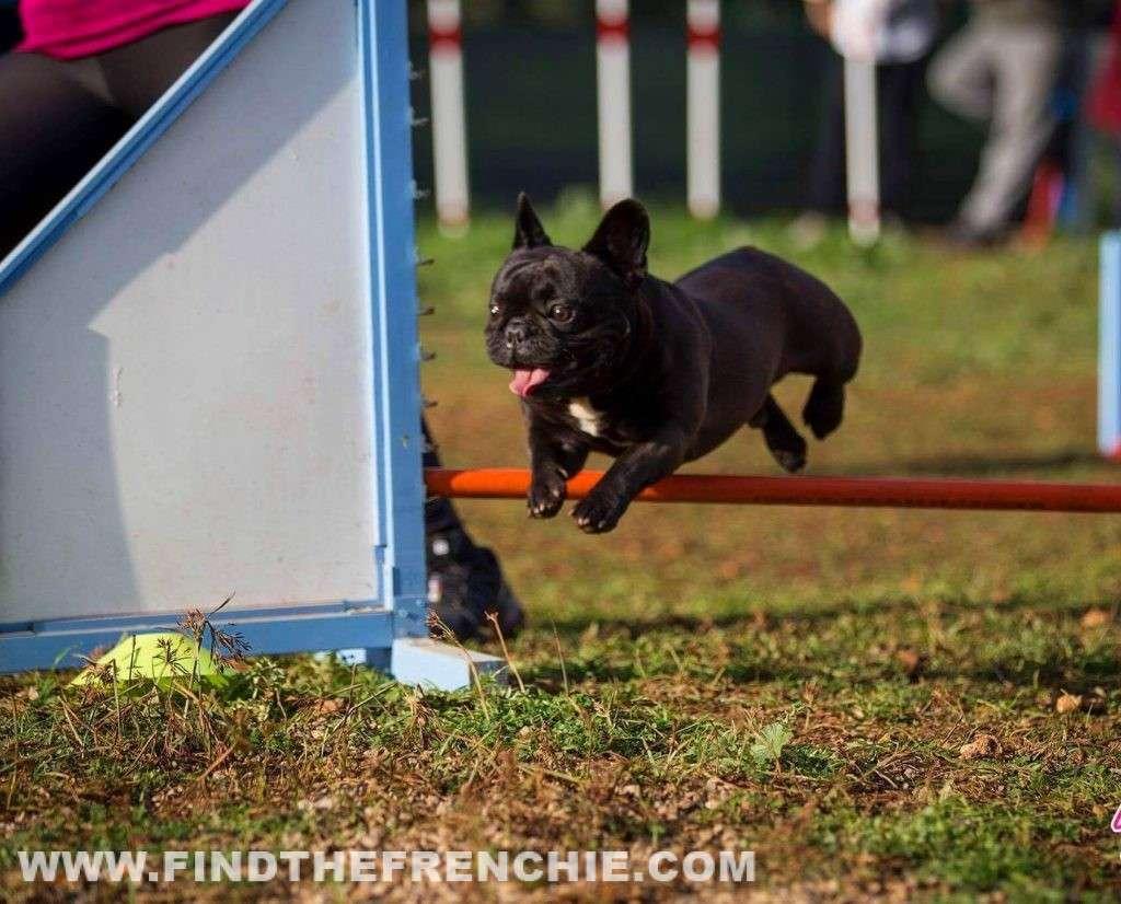 Agility Dog con Bulldog Francese_salto-sorriso