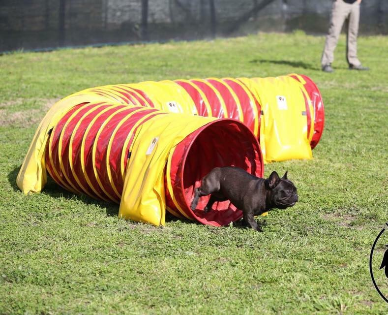Agility Dog con Bulldog Francese_tunnel