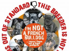 Bulldog Francese senza pedigree La storia di Federica