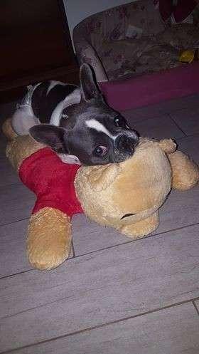 Ho comprato un Meticcio o Bulldog Francese?
