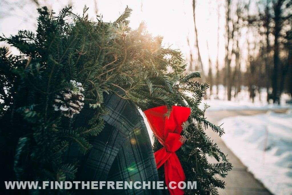 Piante tossiche di Natale per il Bulldog Francese - Ghirlanda