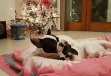 Regali di Natale per Bulldog Francese: la nostra guida Find the Frenchie