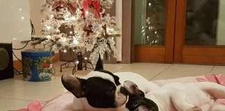 Regali di Natale per Bulldog Francese: la nostra guida Find the Frenchie