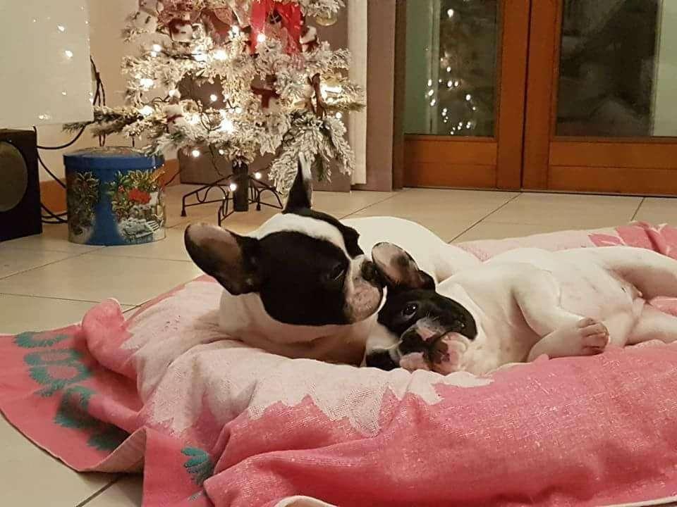 Auguri Di Buon Natale Francese.Guida Ai Regali Di Natale Per Bulldog Francese Lasciati