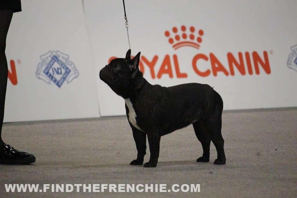 Esposizione Canina Internazionale di Padova. Al Ring Bouledogue Francese