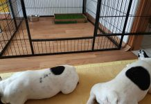 Recinto interno per cani bouledogue francese