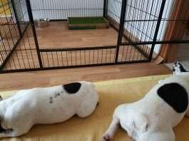 Recinto interno per cani bouledogue francese