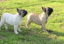 Allevamento bouledogue francese gamecastle ranch