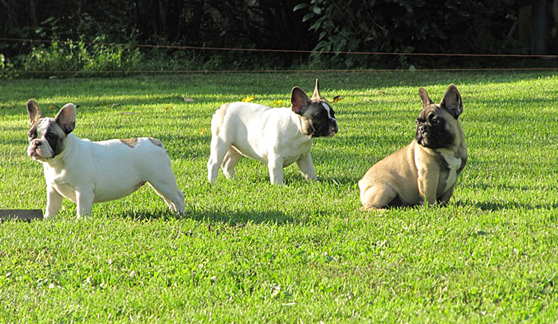 Gruppo di Bouledogue Francese dell'Allevamento Gamecastle Ranch