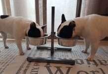 Alimentazione del cucciolo_Bulldog Francee - Find the Frenchie