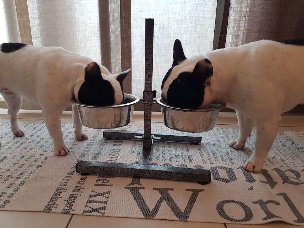 alimentazione del cucciolo di bouledogue francese