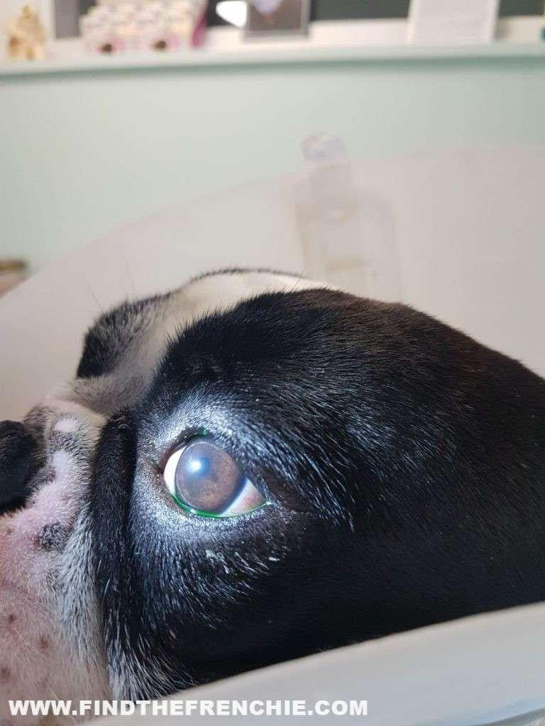 Ulcera oculare del cane. Dante guarito