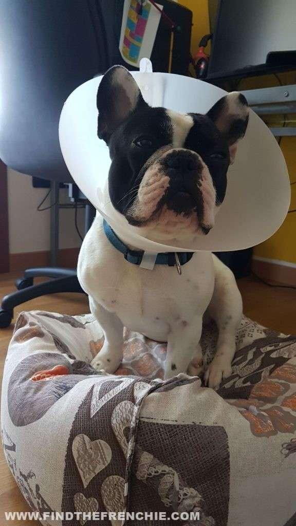 Ulcera oculare del cane. Il collare elisabettiano