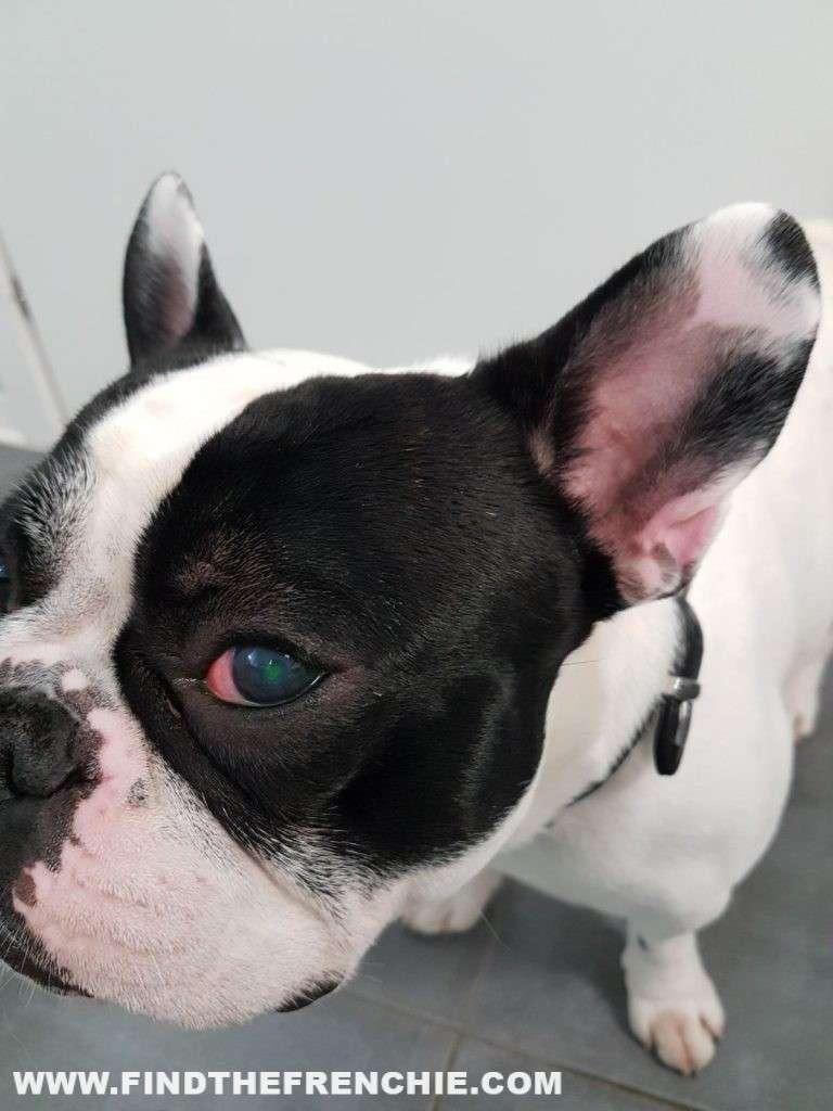 Ulcera oculare del cane. Il test alla fluorescina