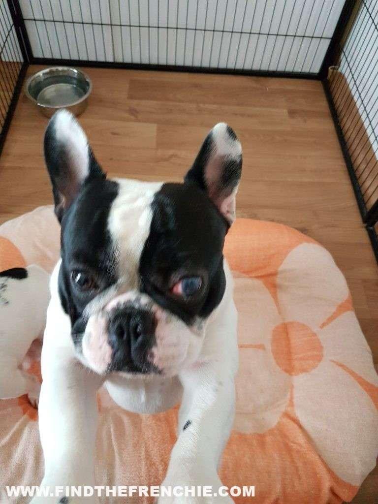 Ulcera oculare del cane. Occhio Velato