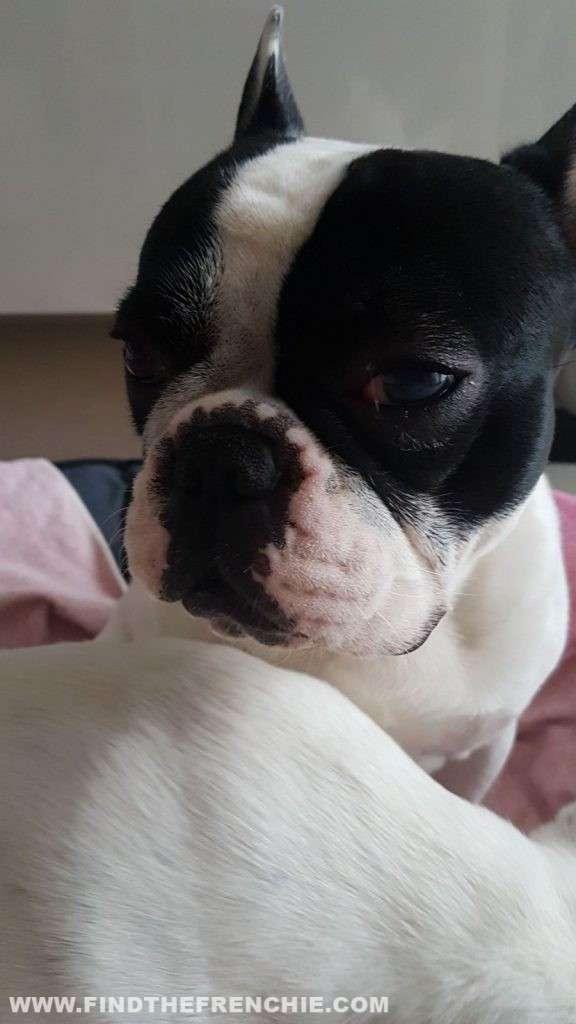 Ulcera oculare del cane. Occhio che lacrima