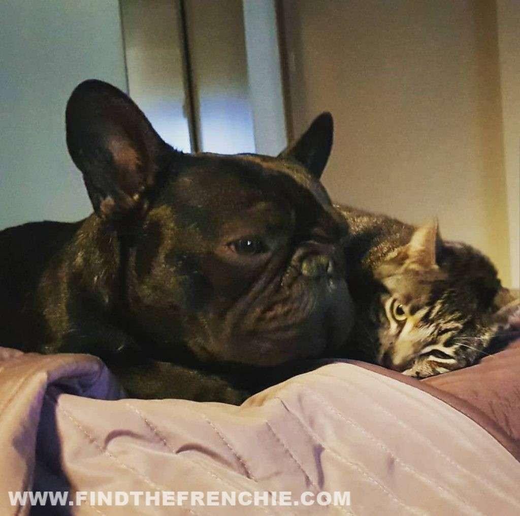 bouledogue francese e gatto
