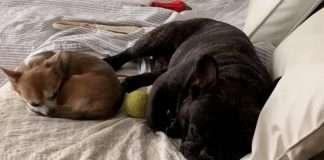 Bouledogue Francese e Chihuahua. La storia di Rocco Dogarrow e Nina Chihuahua delle Rose