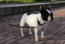 Mia - Bouledogue Francese - Dermatite atopica del cane