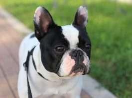 Filaria del cane, la prevenzione. Mia Find the Frenchie - Bouledogue Francese -