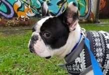 L'otoematoma del cane. Sintomi, diagnosi e terapia. Dante De Valoisse orecchio sinistro
