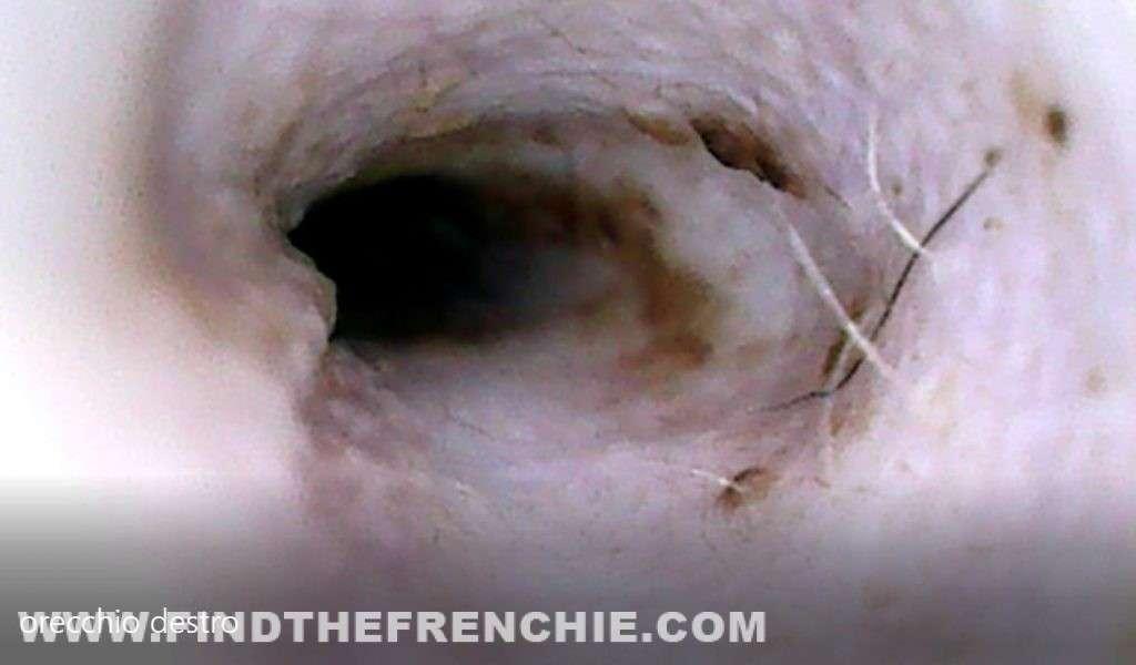 otoematoma del cane. Esame veterinario con sonda con telecamera