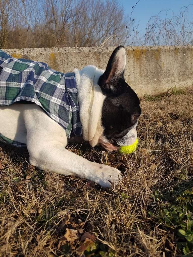 Dante alla prese con la sua pallina da tennis Kong Squeak Air