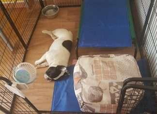 Ventilatore per cani - Recensione Find the Frenchie Bouledogue Francese