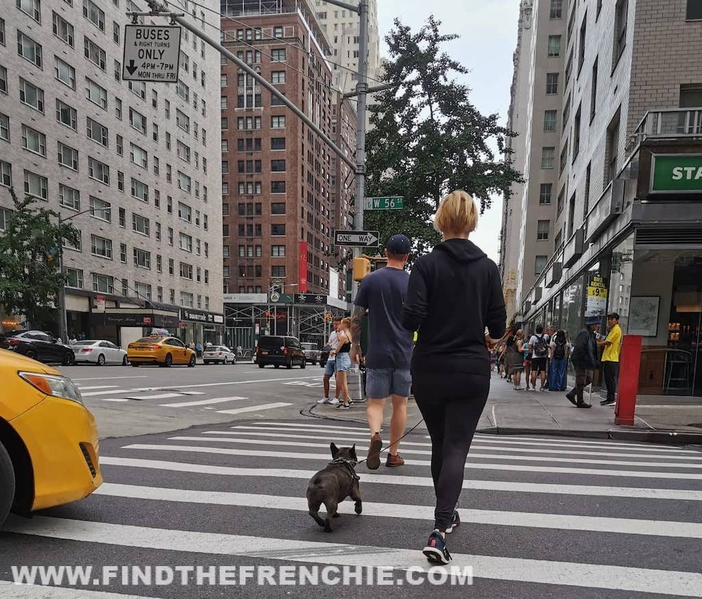 Frenchies in New York - Find the Frenchie