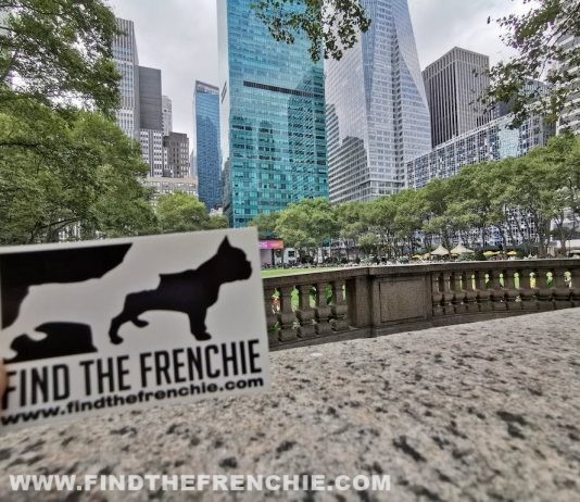 French Bulldog in New York