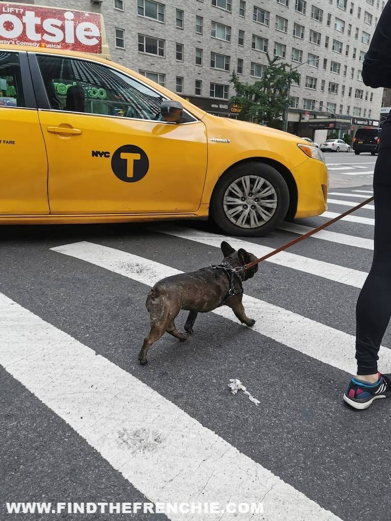 French Bulldog in New York-traffic taxi