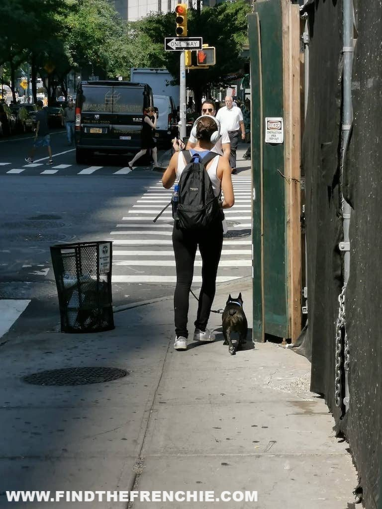 French Bulldog in New York - walking 4